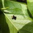 コブシの葉で見る昆虫