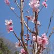 スモモと桃の花