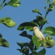 幸福の使い白スズメ 喜界島の民家に来訪