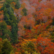ブナ原生林 燃えるような紅葉