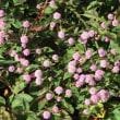 ヒメツルソバの咲く水辺