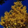 黄金色の銀杏並木