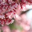 弥生花、紅ほころぶ