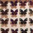 きらめく昆虫標本展(4)