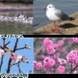 JR稲毛海岸駅前の河津桜が咲き始めました