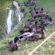 陸に上がる鴨たち