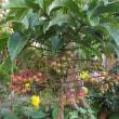 秋明菊、山茶花、色付いてきた万両の実
