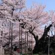山高神代桜と山の神千本桜を訪ねて