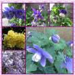 オダマキが4種類咲いて居ます