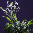 過去開花の富貴蘭「大聖海」の花