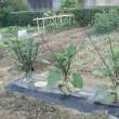 畑、茄子の誘引
