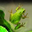 アオカエルの「ケロちゃん」が、緑色になりました