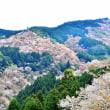 吉野の桜 2・上千本辺り