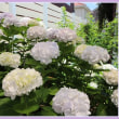 ぺんぺん草の庭から・・・紫陽花