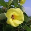 季節の花「浜朴 (はまぼう)」