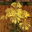 皇室のゆかりの新宿御苑の菊花壇展を見に行きました。
