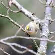 1/18探鳥記録写真(頓田貯水池の鳥たち:キクイタダキ、オシドリほか)
