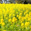 201やっと黄色い絨毯が 《福岡市東区海の中道海浜公園》