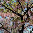 寒桜・・1
