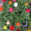花かんざし苗・ラナンキュラス苗・パンジー苗を入荷致しました。