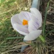 クロッカスが春をつれて