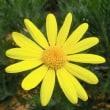 ユリオプス・デージーの花は