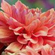 ダリアの花(Ⅳ)