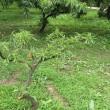 Prunus persica ❛Ori Hime❜
