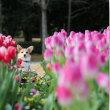冬咲きのチューリップ