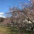 冬桜とトマト