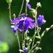 紫色のセイヨウオダマキ
