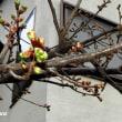 仲良し小道「さくら百華の道」の膨らみかけた「河津桜」の蕾!!