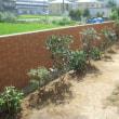 キンモクセイの植え込み