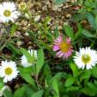 <ペラペラヨメナ> 「源平小菊」や「無休菊」の異名も