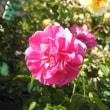 初冬のキバナコスモスと初冬の赤と白系のバラ