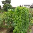 台風の被害なし(家庭菜園)