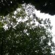 群馬県前橋市、三夜澤赤城神社のブナの木です!!