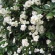 木香薔薇(もっこうばら)という花