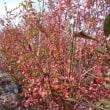 ブルーベリーの紅葉は