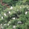 白鷺の巣って?