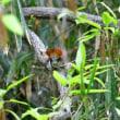 公園で初めて撮影したコマドリ