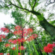 小石川植物園のヒガンバナ 続編(超広角10ミリレンズで撮影)