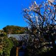 『1月の梅』 妙大寺
