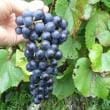 ブドウ収穫
