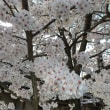 桜もりもり