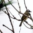 11/25探鳥記録写真(はまゆう公園の鳥たち:再びシロガシラ)