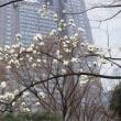 2018.05.15 西新宿 新宿中央公園: 「春が来た!」のコブシ