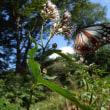 アサギマダラが赤城自然園に飛来。赤城自然園