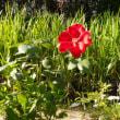 クレマチスとバラ。