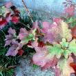 柏葉アジサイの紅葉